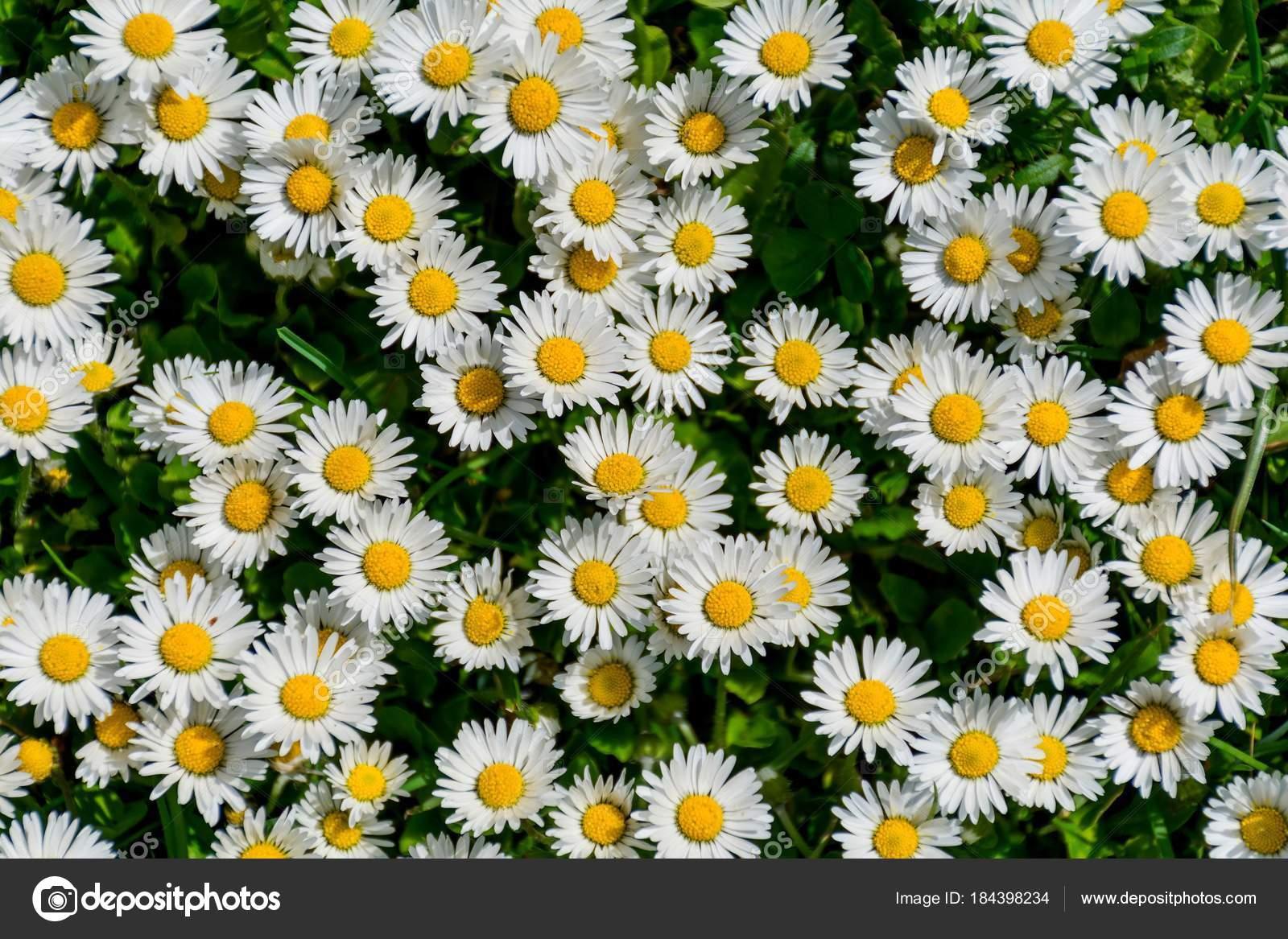 Vista de detalle en blanco y amarillo flor Margarita común o Bellis ...