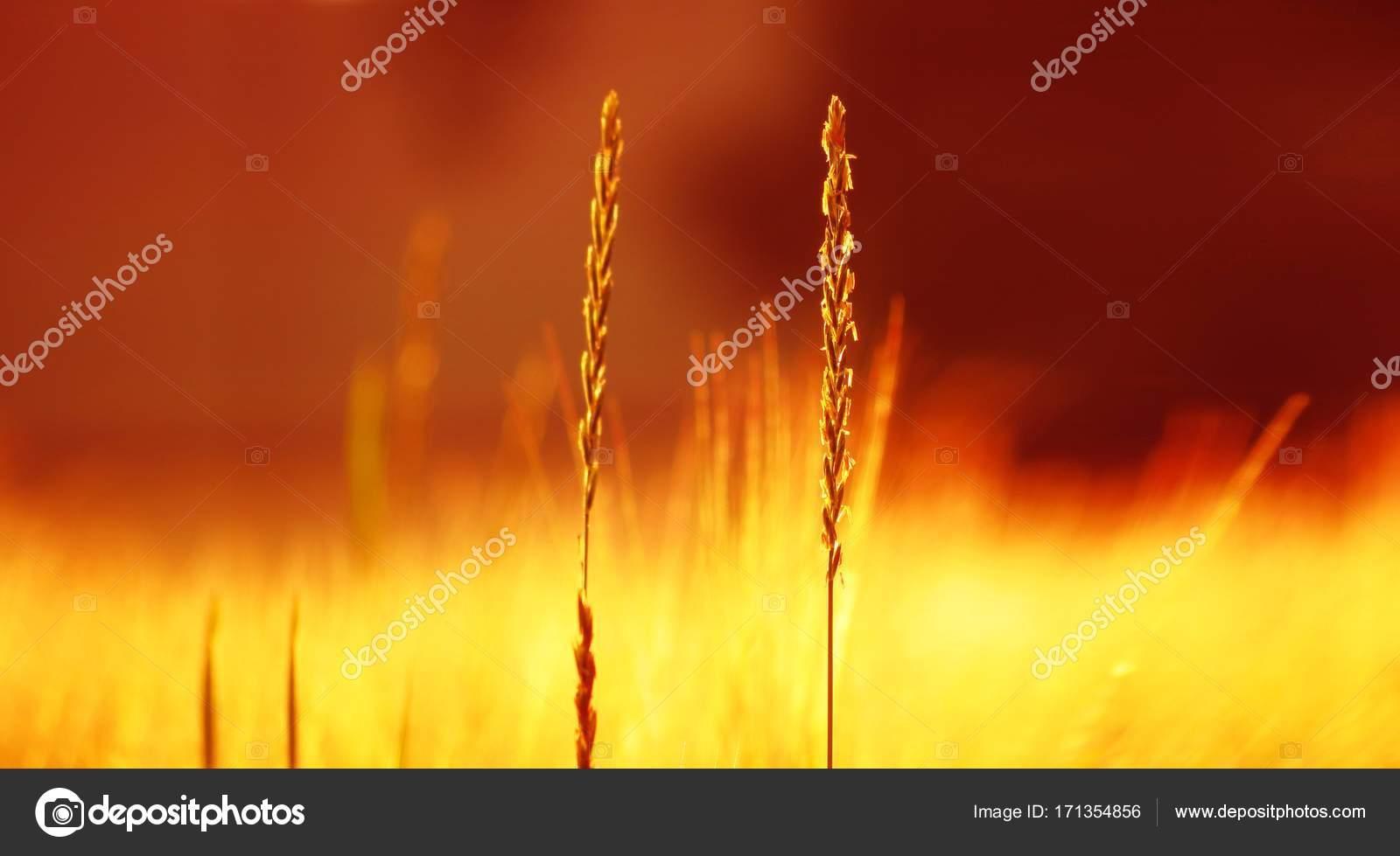 Close up van gras veld zonnige zomer. ultrawide achtergrond lichte