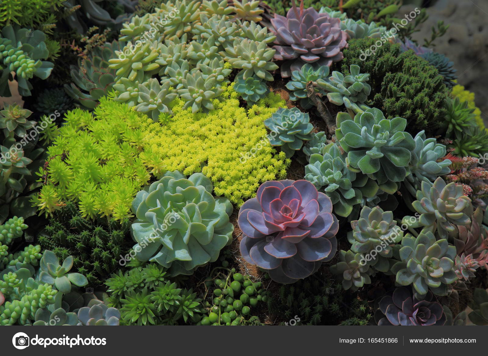 Jardin Miniature Avec Plante Succulente Violet Parmi De Luxuriantes