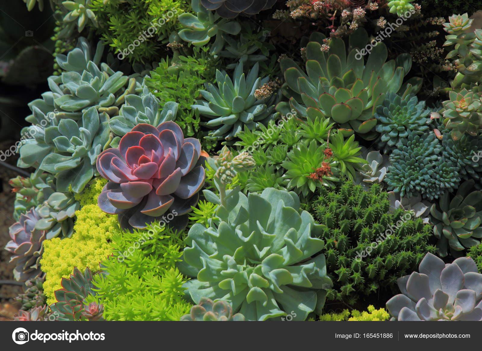 jardin miniatura Jardn Miniatura Con Prpura Suculenta Entre Exuberantes