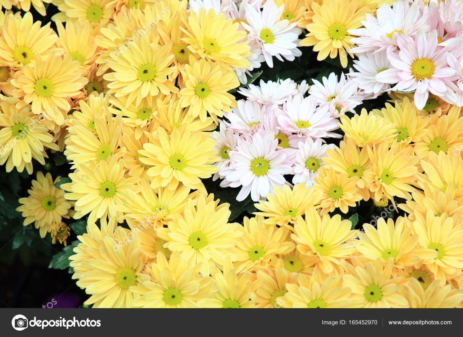 Yellow Daisy Flower Background Yellow Flower Background Stock