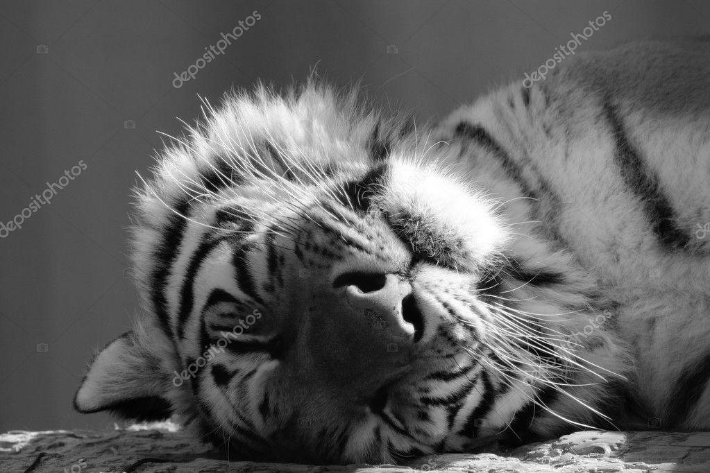 schwarz wei gesicht ein erwachsener tiger friedlich schlafend stockfoto kagenmi 128386444. Black Bedroom Furniture Sets. Home Design Ideas