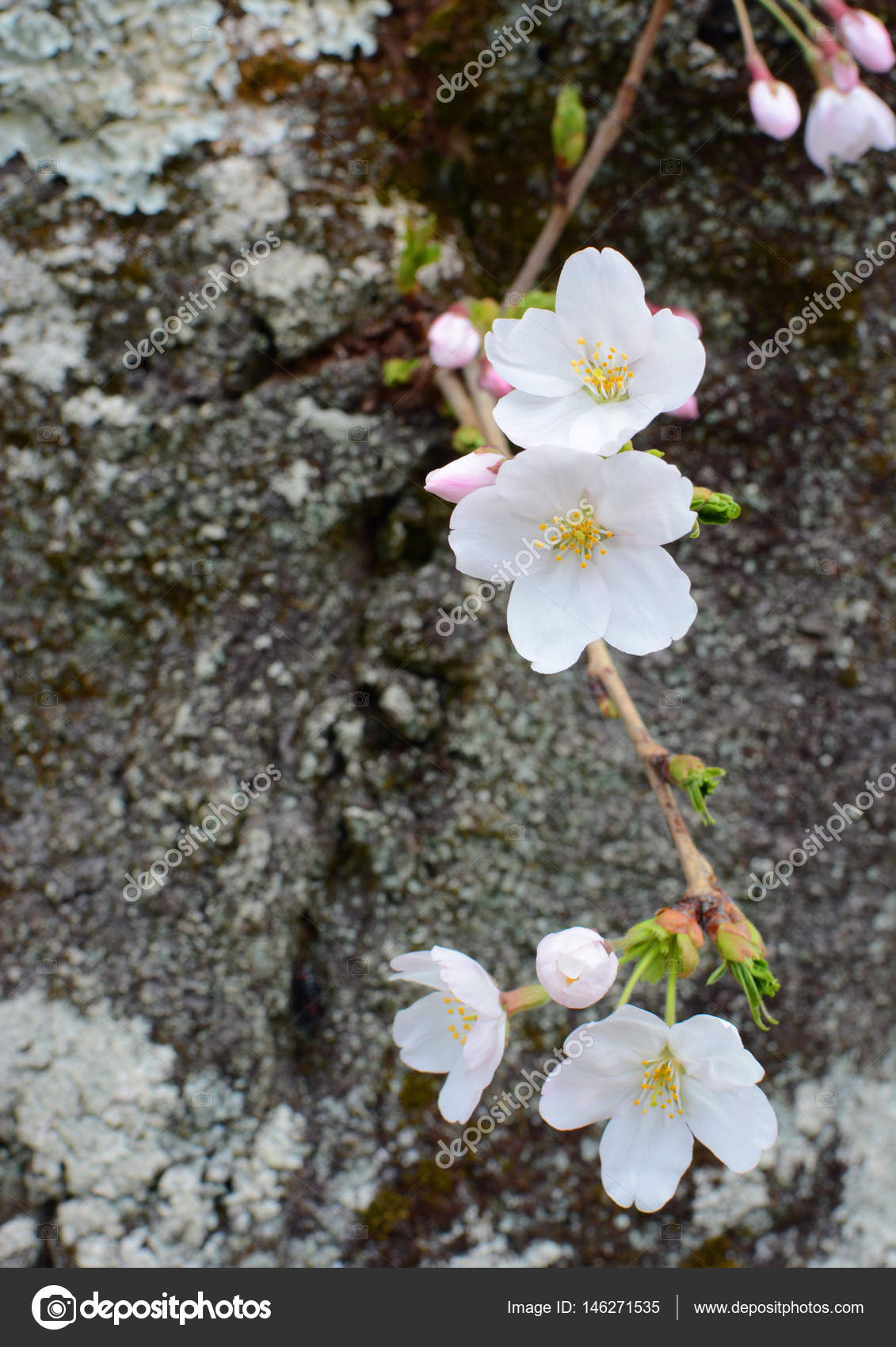 Closeup Of Several White Flower Blossoms On The Trunk Of A Japanese