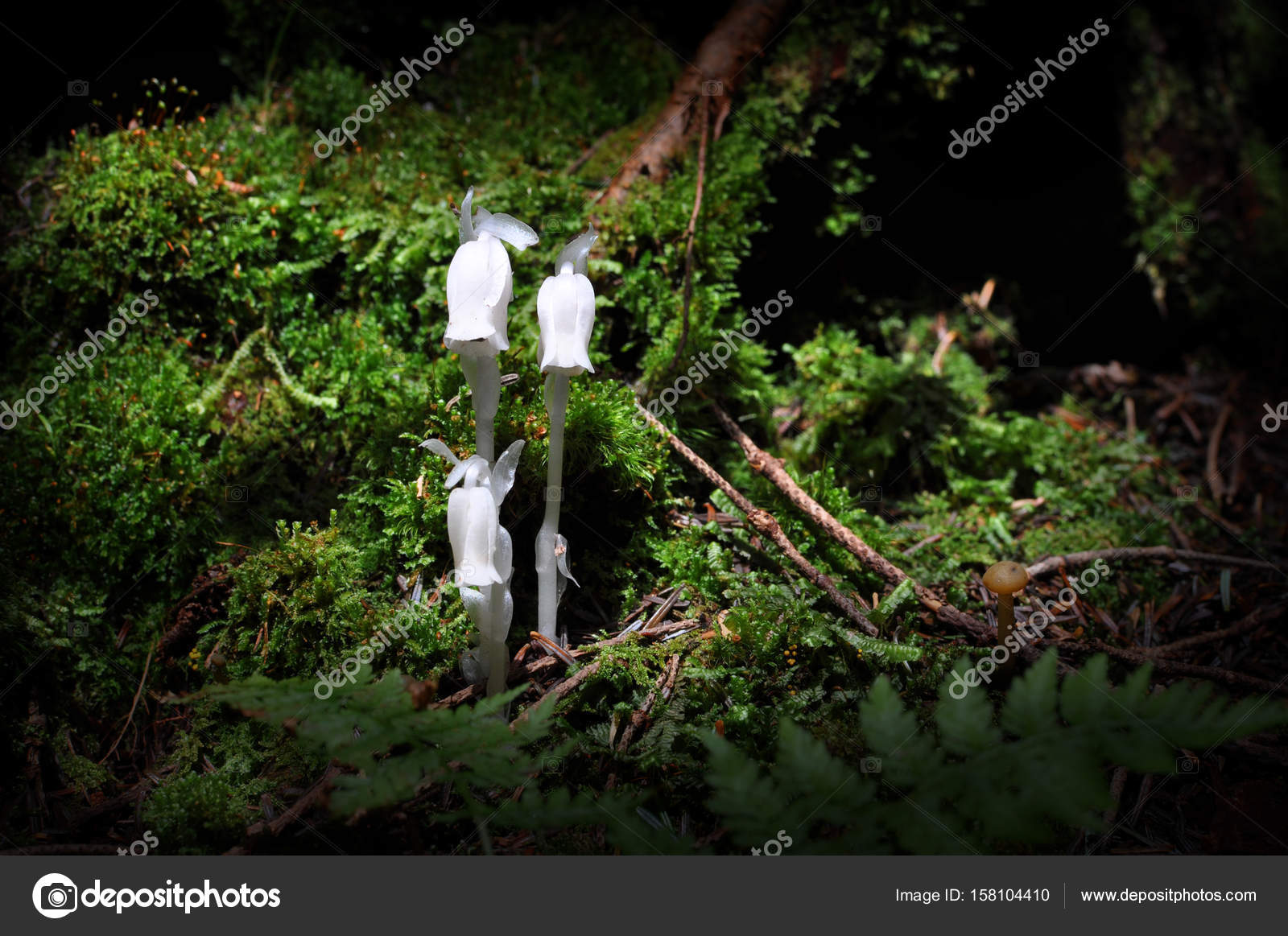 White Flowers Of Monotropa Uniflora Also Known As Ghost Plant Or
