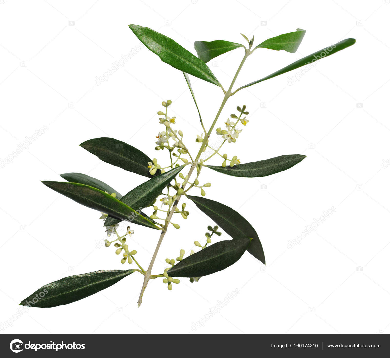 Flowering olive tree branch a symbol of peace isolated on a white flowering olive tree branch a symbol of peace isolated on a white background buycottarizona Choice Image