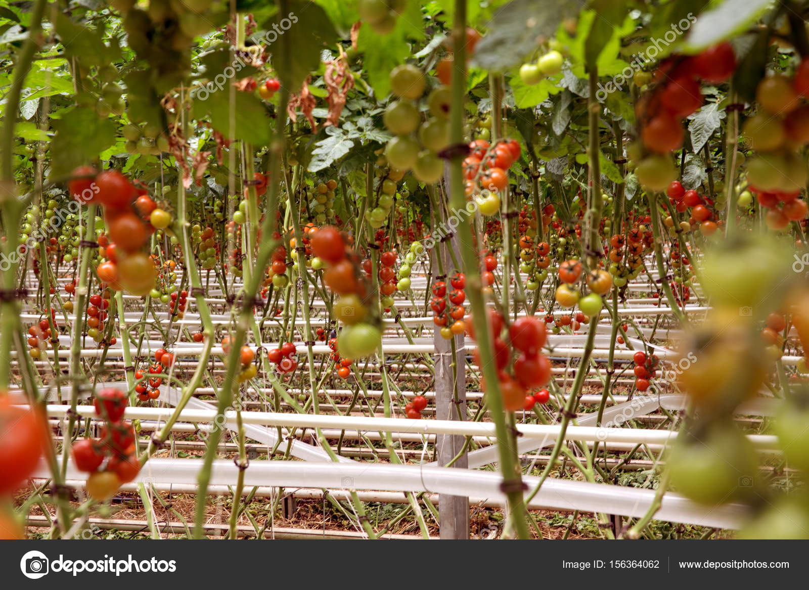 reihen von hydrokulturpflanzen tomaten im gew chshaus rote tomaten frisch auf den baum bio f r. Black Bedroom Furniture Sets. Home Design Ideas
