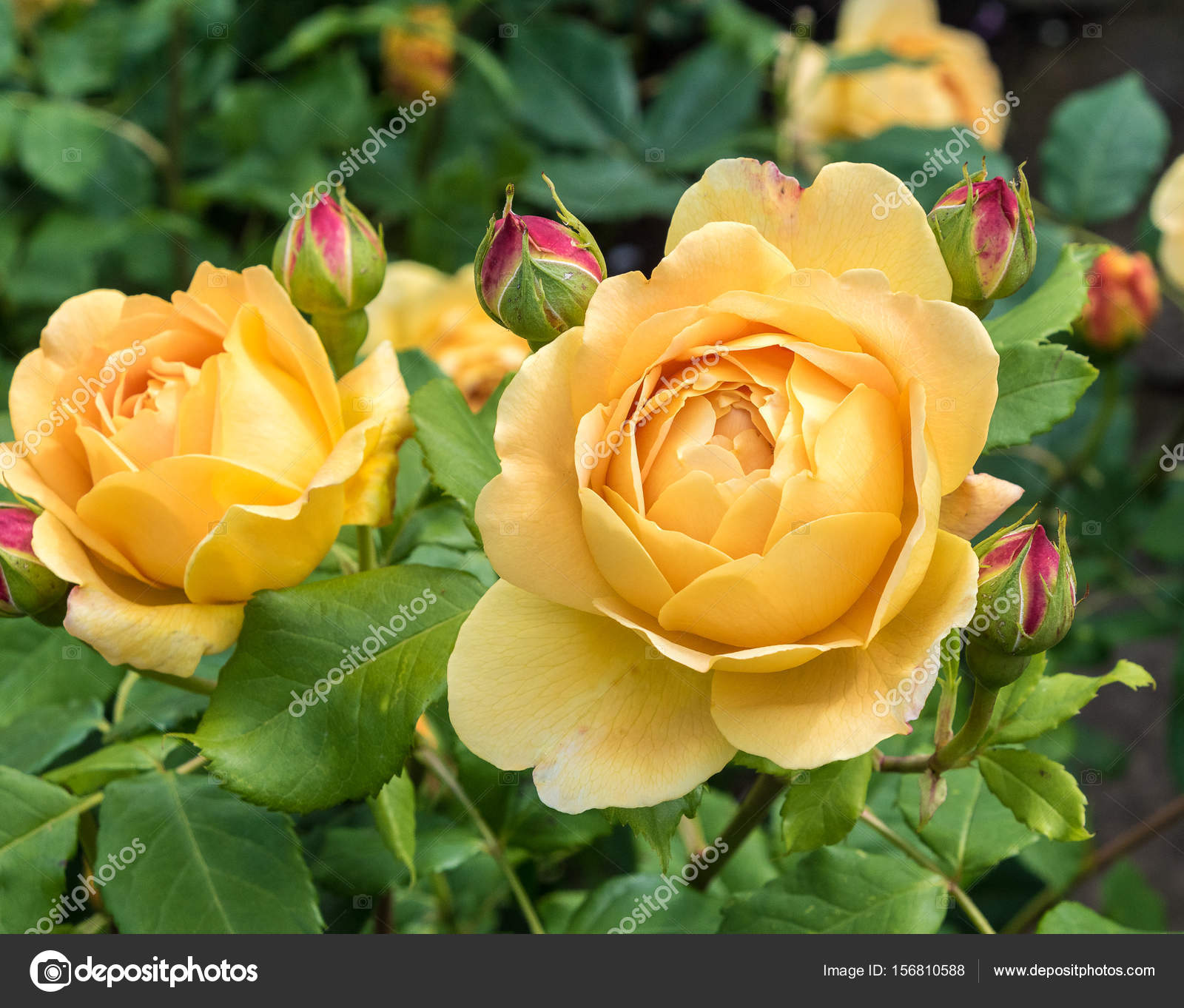 Yellow Rose Flower And Buds Stock Photo Russell102 156810588