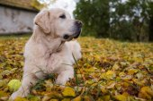 Old Golden Retriever is lying on yellow ground in autumn.
