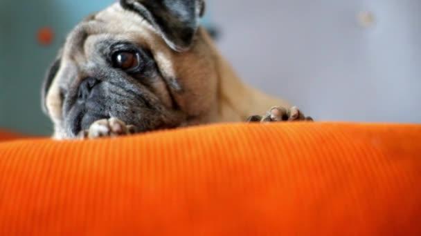 Imádnivaló aranyos kutya mopsz alszik és pihen otthon