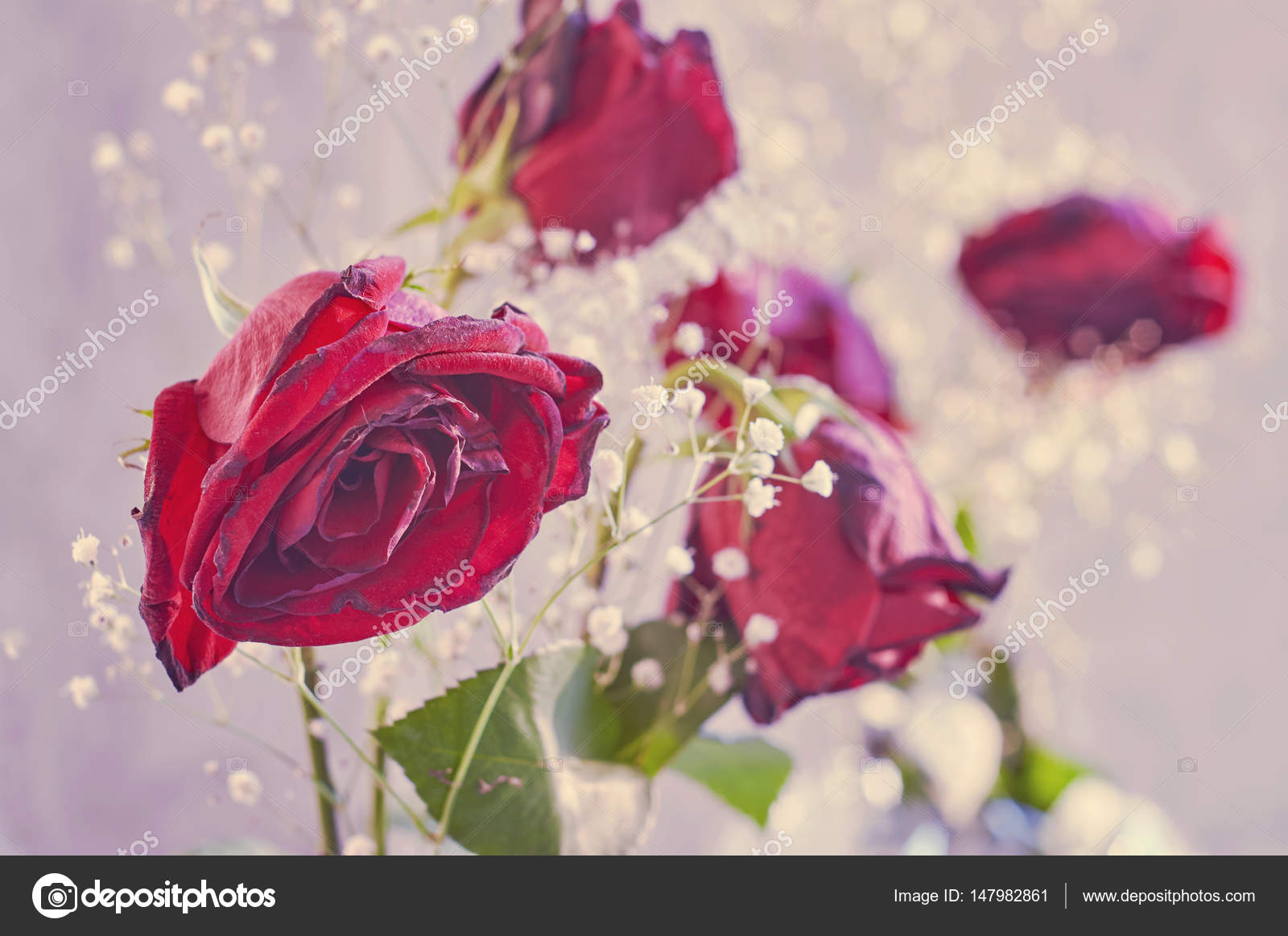 Withered Red Roses With Little White Flowers Stock Photo