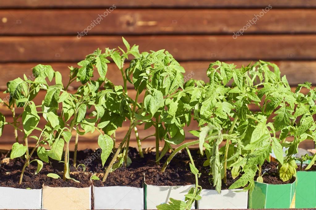 Tomato seedlings growing in paper milk packages