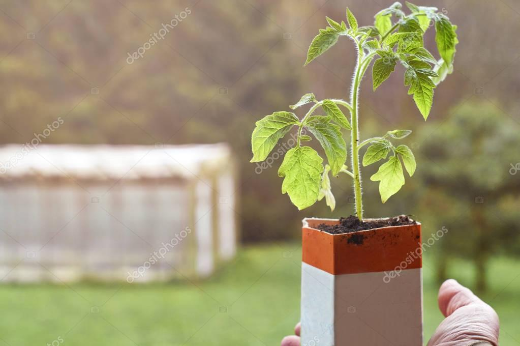 Farmer holding a tomato seedling growing in paper milk package