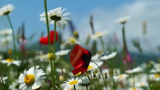 Mák és a százszorszép virág, imbolygott a szélben