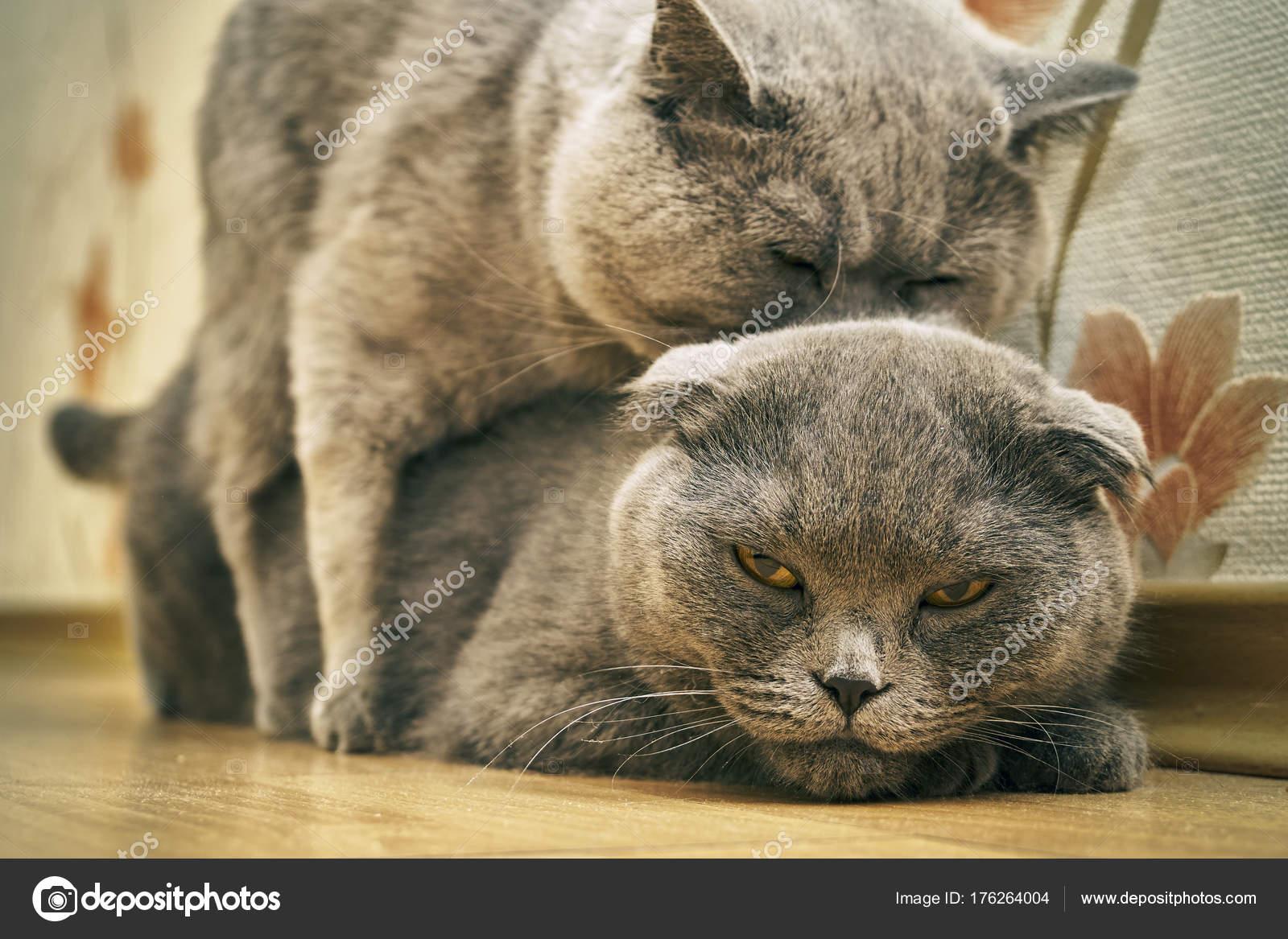 Gatti Di Razza Nellatto Di Accoppiamento Al Chiuso Foto Stock