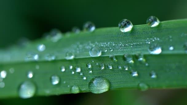 Rosa kapky makro na zelené trávě ostří v časném jarním ránu