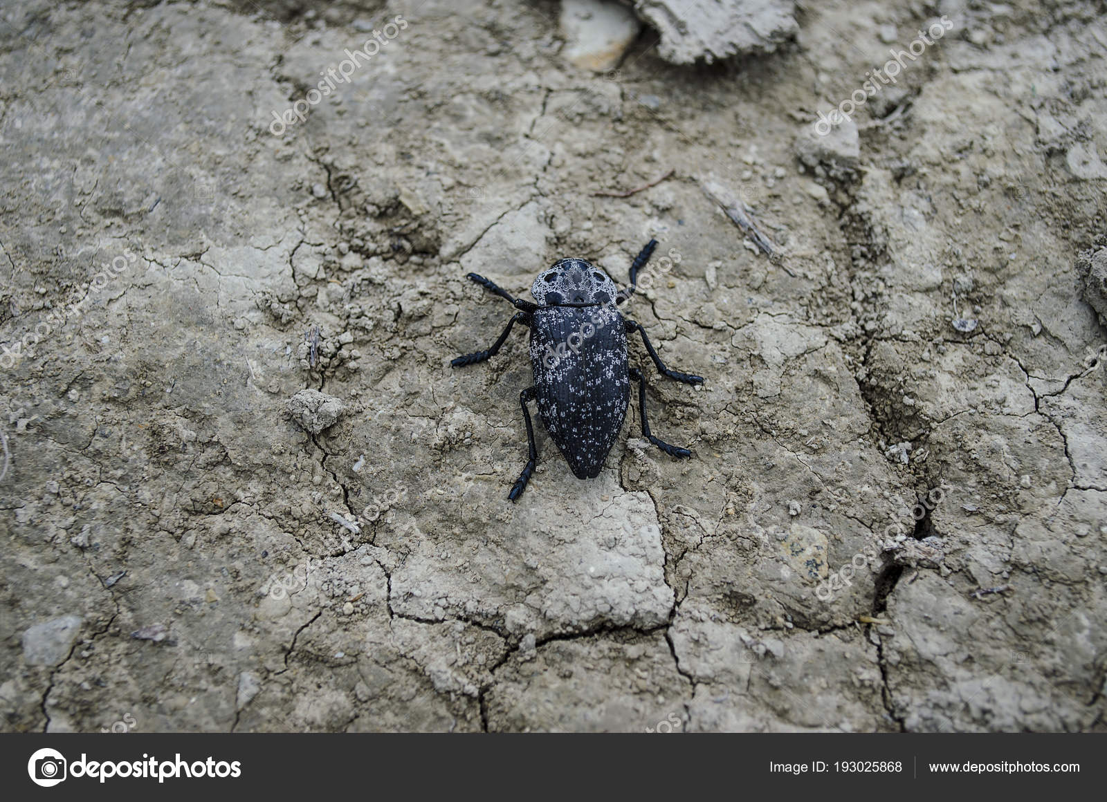 A large black beetle sits on the ground  — Stock Photo