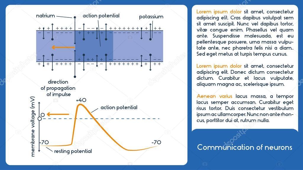 Kommunikation von Nervenzellen. 1 Diagramm mit Membran-Spannung ...