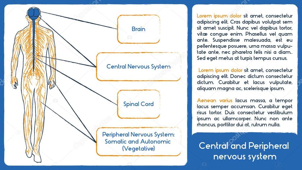 Sistema nervioso central y periférico. Estilo de dibujo — Archivo ...