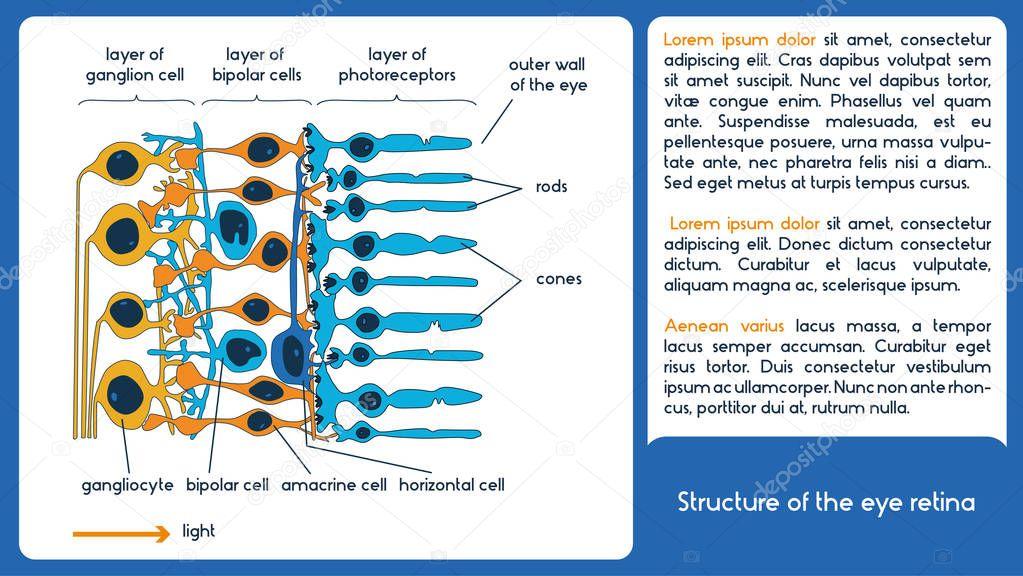 La estructura de la retina del ojo. Esquema infográfico — Archivo ...