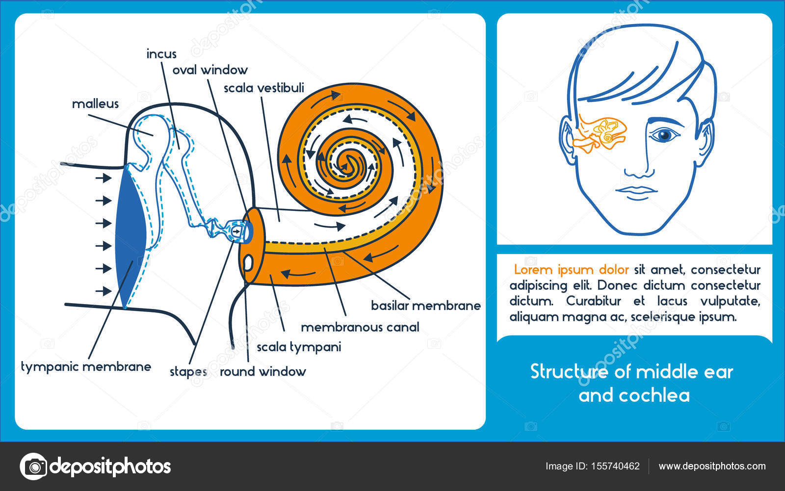 Structure of middle ear and cochlea. — Stock Vector © Polina_po ...