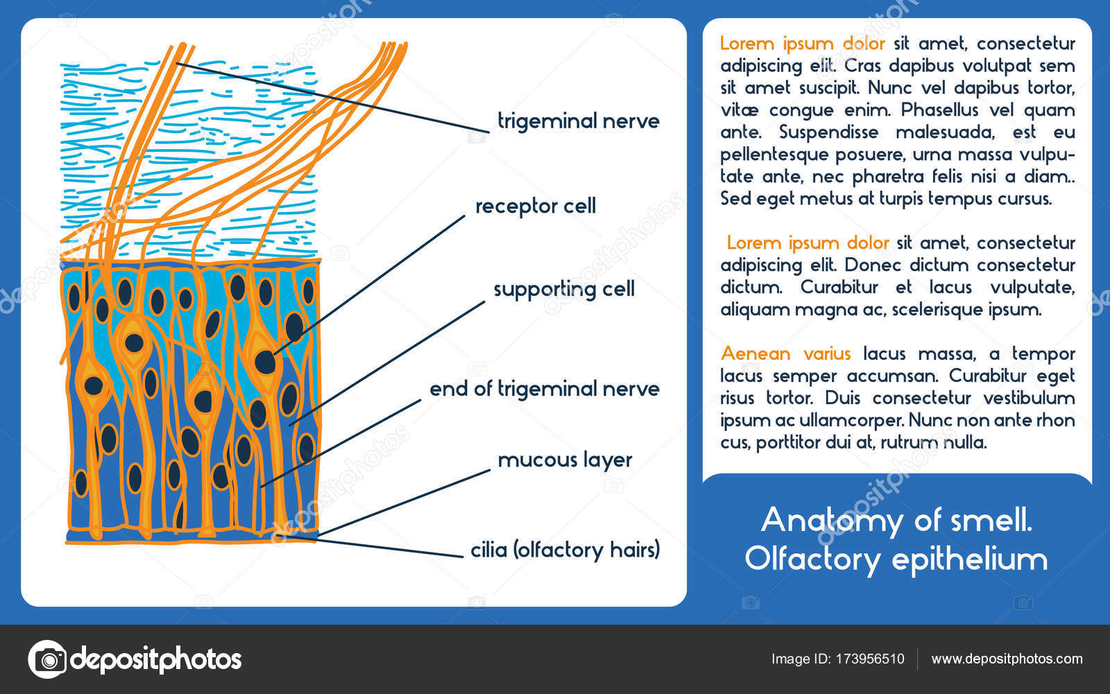 Anatomy Of Smell Olfactory Epithelium Stock Vector Polinapo