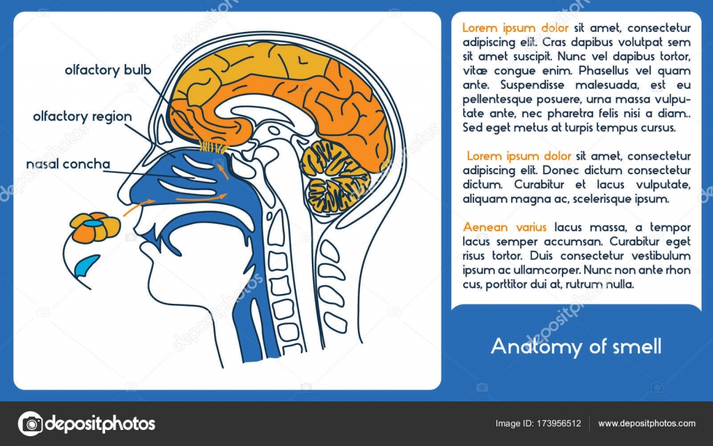 Anatomy of smell. From olfactory region to olfactory bulb. — Stock ...