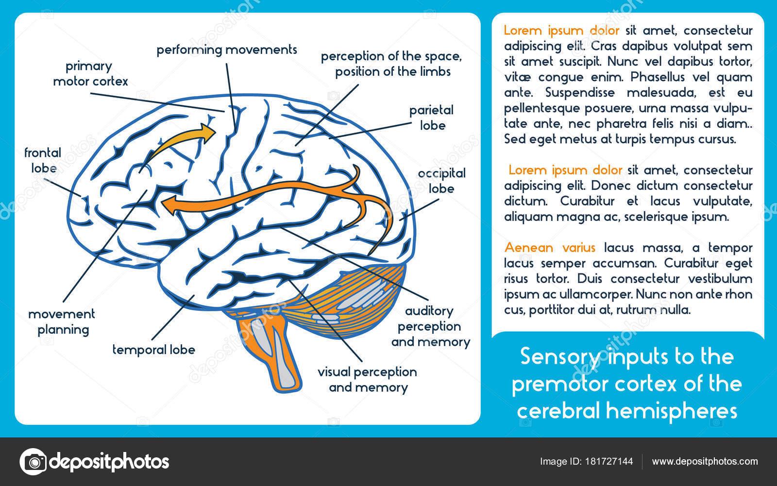 Sinneseindrücke der prämotorischen Kortex der zerebralen Hemisphäre ...