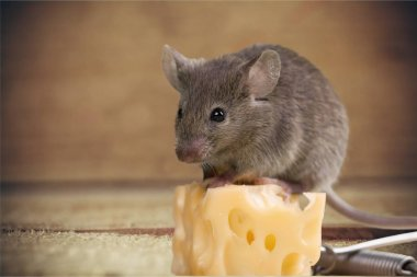 gray mouse animal  and cheese