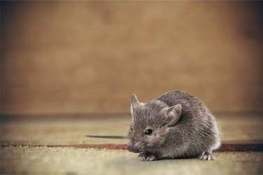 gray cute mouse