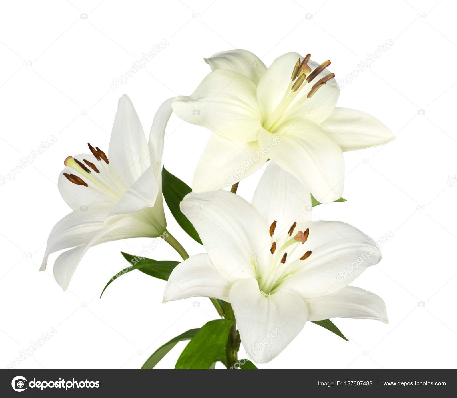 Beautiful White Lilies Flowers Isolated White Background Stock