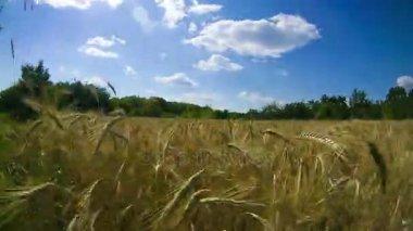 Pšeničné pole a klásky. Časová prodleva