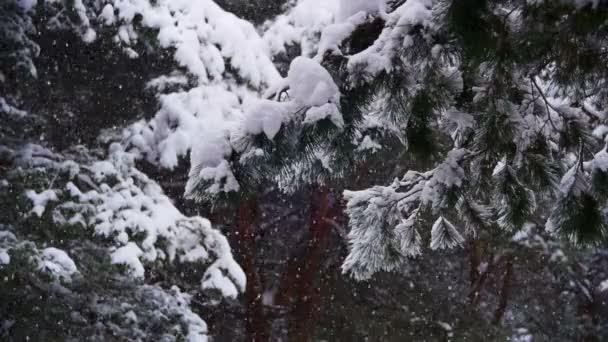 Sníh padá v zimě borovém lese s zasněžené vánoční stromky. Zpomalený pohyb