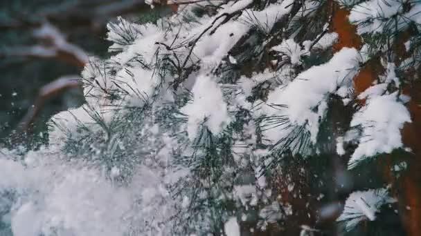 Sníh padá z větví zasněžený vánoční strom v zimě. Zpomalený pohyb