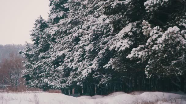 Winter-Kiefernwald mit verschneiten Weihnachtsbäumen