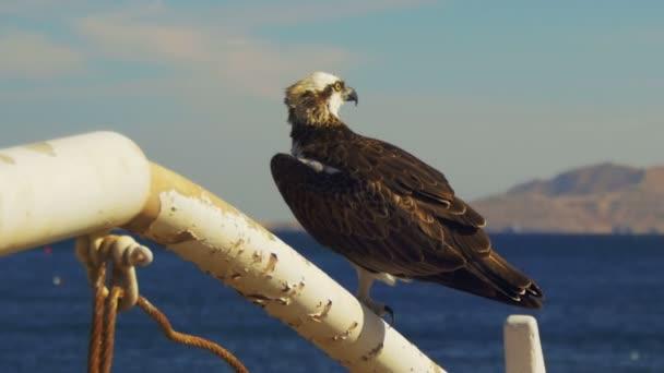 Orlovec mořský dravec sedí na stožáru na přídi lodě proti pozadí Rudého moře