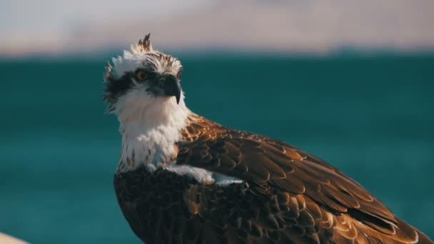 best verkocht speciale promotie op voet schoten van Marine Bird of Prey Osprey Sits on the Background of Red Sea