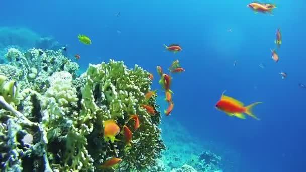 Krásné barevné tropické červené ryby na zářivé korálové útesy pod vodou v Rudém moři