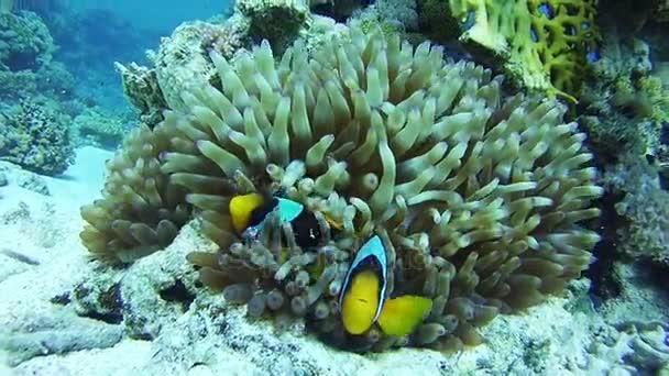 Clown-Anemonenfische, bunte tropische Fische an lebendigen Korallenriffen unter Wasser im Roten Meer. Ägypten