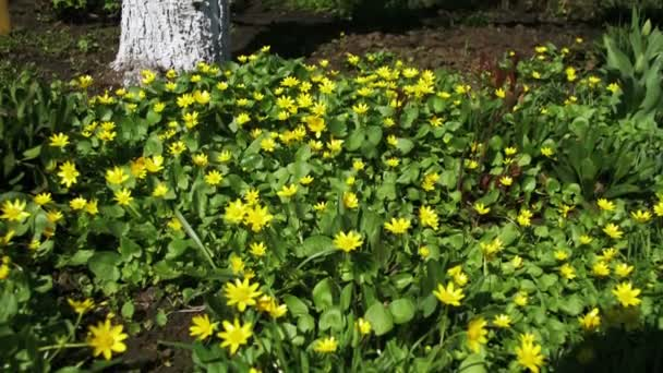Yellow Flowers In Early Spring Primroses Stock Video Videorost