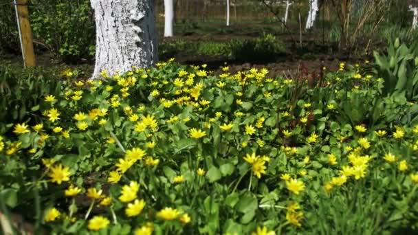Ranunculus Ficaria kvetoucí časně jarní den na louce
