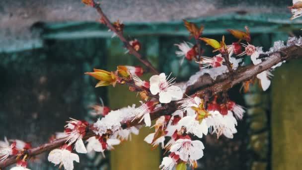 Abnormální počasí, sněhu na meruňky Kvetoucí strom