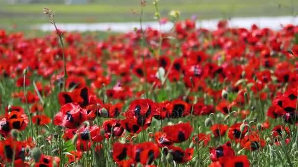 Virágok piros Pipacsok, imbolygott a szélben, a háttér-hegység területén