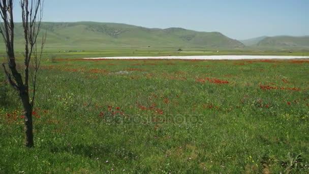 Květy červené vlčí máky v poli kymácí ve větru na pozadí hor