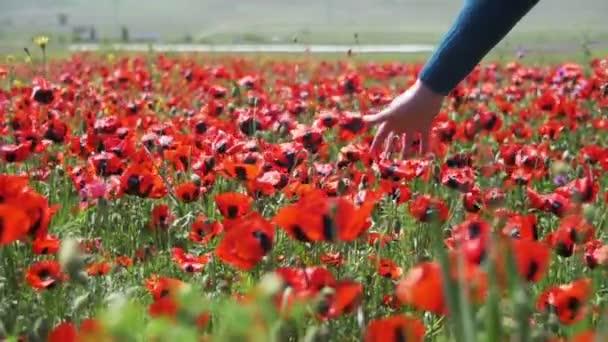 Nő megérinti a piros virágzó Pipacsok a pályán. Lassú mozgás