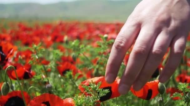 Nő megérinti a piros virágzó Pipacsok a pályán