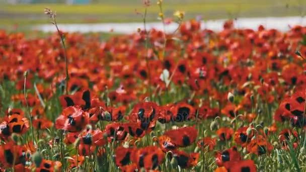 Květy červené vlčí máky v poli obrovský kymácí ve větru na pozadí hor