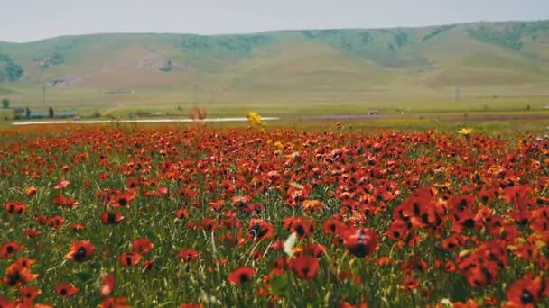 Blossoms Red Poppies in the Huge Field Swaying in the Wind on Background of Mountains