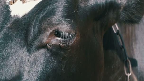 Oční krávy a moucha prochází