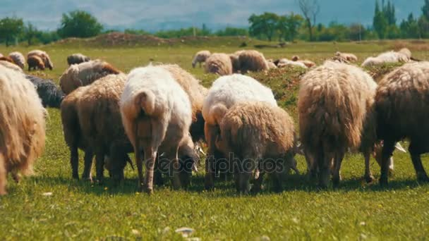 Stádo ovcí pasoucí se na poli pozadí hor