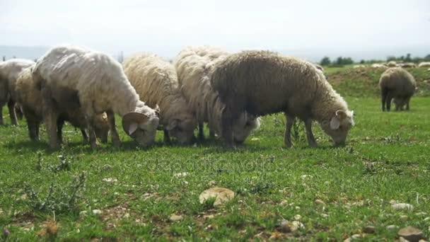 Schafherden weiden auf einem Feld vor der Kulisse der Berge. Zeitlupe